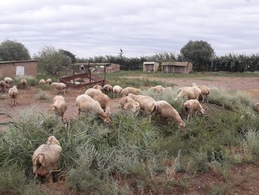 Kənd təsərrüfatı heyvanları - Beyləqan: Tecili satlır 42 qoyundu 15 balalı