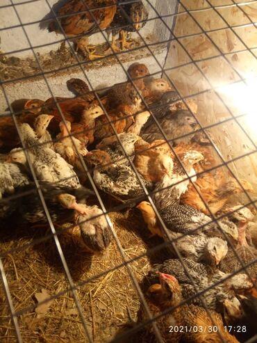 Продам домашних разнопородистые цыплят, голошейка, махнаногие