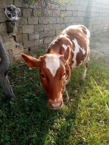 Kənd təsərrüfatı heyvanları - Bakı: Dışı danadir 9 ayliqdi