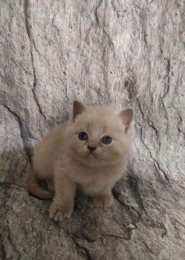 jubka na vysokoj posadke в Кыргызстан: Готовы к продаже котята британской короткошёрстной,дата рождения