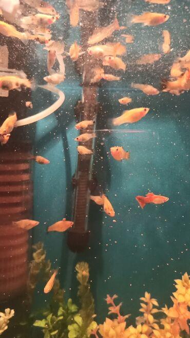 guppi baliqlari - Azərbaycan: Malnezi Moli balıqları 1 ədədi 1 azn. çox götürənə aşağı qiymətlə