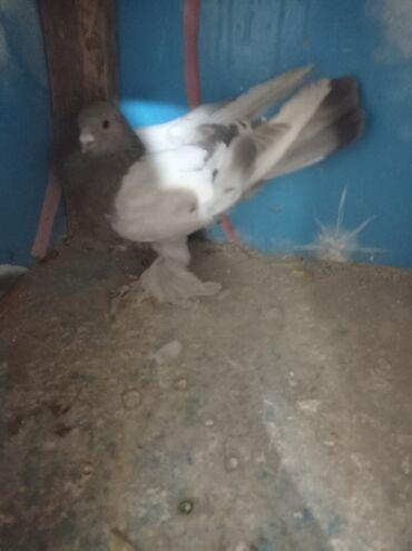 Животные - Нарын: Продаю голубей по 100сом оптом игра есть!!!