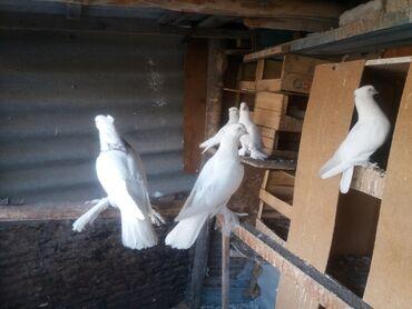 Животные - Токтогул: Голуби андижанцы лет игра