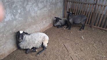 42 объявлений | ЖИВОТНЫЕ: Продаю | Овца (самка), Ягненок, Баран (самец) | Романовская