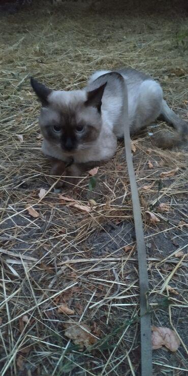 Моему милому котику нужна милая кошечка, на вязку, с последующей