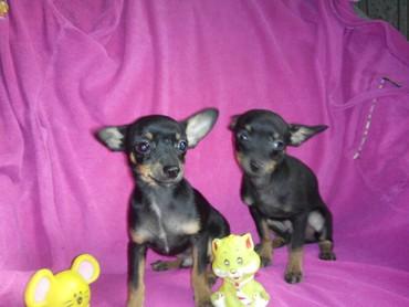 Продаются очаровательные щенки в Лебединовка