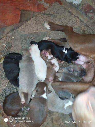 Продаю щенков питбуля родились 19.03.21