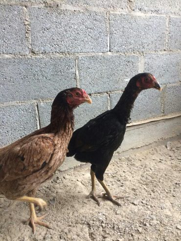 Продаю молодых курочек даканш - миксы  (вьетнамка, кореянка) в Лебединовка