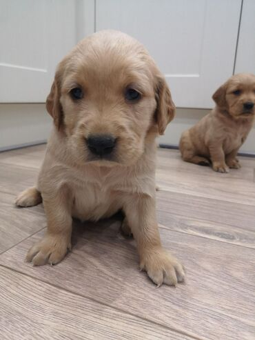 Golden Retriever puppies for sale WhatsApp me +33 We have male and