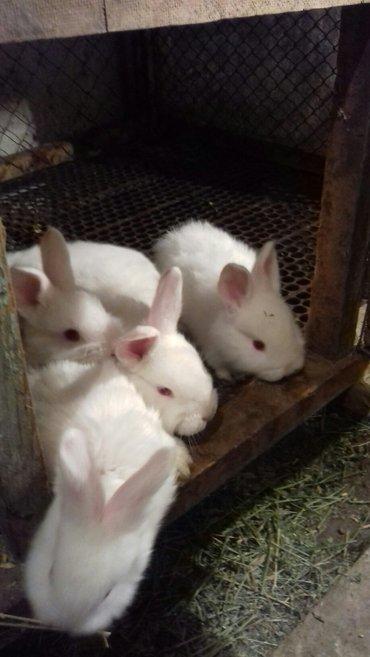 продою кроликов новозеланцы 2 месяца  в Бишкек