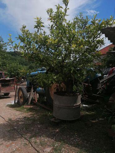 Kuća i bašta | Razanj: Mandarina drvo