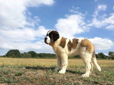 Na prodaju štenci bernardinaca stari 4,5 meseca. Dobrog kvaliteta, - Lazarevac