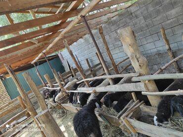 С/х животные - Кара-Суу: Кочкорлор бар сатылат