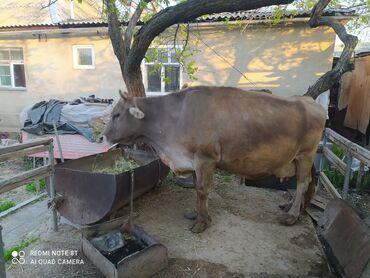 Животные - Джал мкр (в т.ч. Верхний, Нижний, Средний): Продается доеная корова породы Швиц рост 1 метр 40 сантиметров  Дает 2