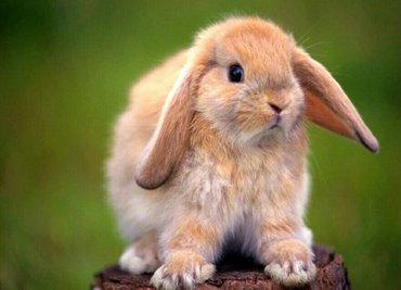 продаю кроликов декоративных  кроликов вислоухих срочно продаю кролика в Бишкек