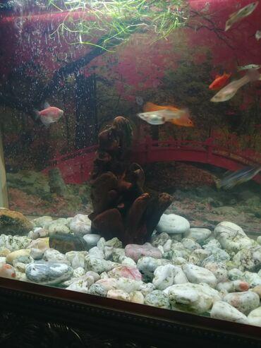 рыбы в Кыргызстан: Продаю аквариум вместе с рыбками. 0 возможен торг