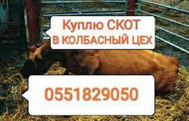 веб камера с микрофоном для компьютера купить в Кыргызстан: Куплю в колбасный цех коров лошадей быков телок и вынужденый забой в