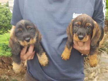 Κουτάβια dachshund έτοιμα να πάνε τώρα