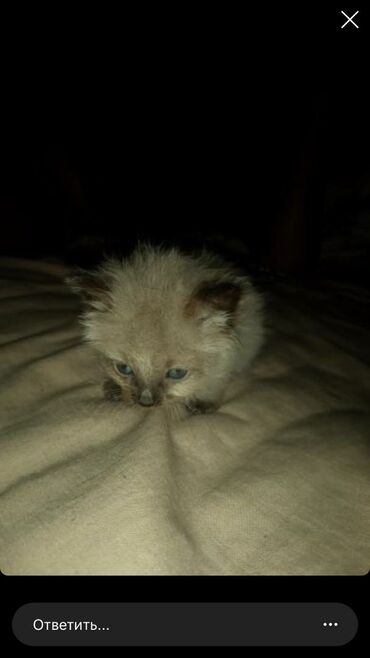 Маленькая кошка(не знаю сколько ему)мальчик,голубые глаза,бишкек