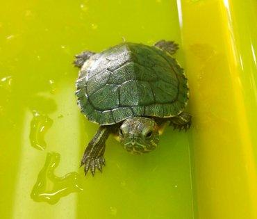 Velika ponuda mladih i zdravih akvarijumskih kornjača, imamo - Beograd