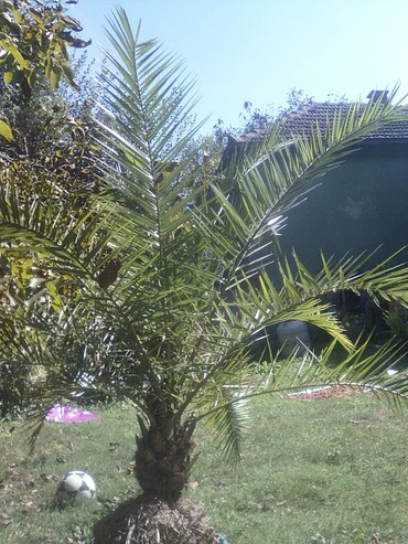Prodajem palmu visine 1,5m.Cena 10.000 dinara.Jagodina