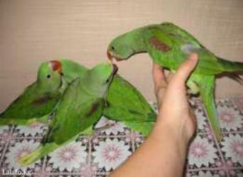 Молодые Александрийские попугаи для обучения к разговору в Кок-Ой