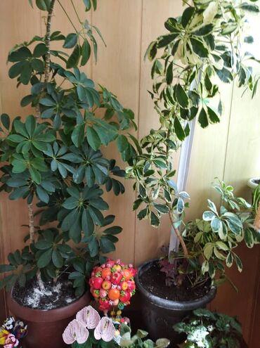 Комнатные растения - Беловодское: Продам много разных цветов