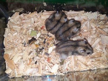Bakı şəhərində Tam saglam Cunqarik(hamsterler ). catdirilma movcuddur