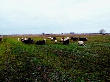 İmişli şəhərində 32baş ana keçidi topa satılır 8 doğub qalan bağazdı