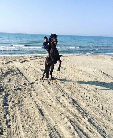 afcarka balalari satilir - Azərbaycan: At Satilir 7 yaşı var Yorğa gedir