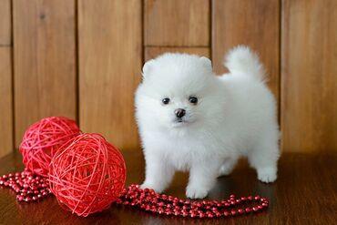 WhatsApp μου +33 Κουτάβια Pomeranian προς πώληση και οποιοδήποτε