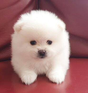 Καθαρόαιμα Pomeranian κουτάβιαΚαθαρόαιμα κουτάβια Pomeranian. Έχετε