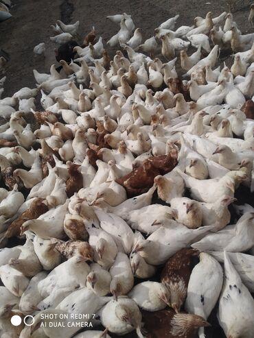 Животные - Кой-Таш: Курочки Хай-Лайн Соня, 4-месячные
