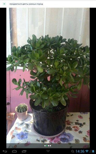 Живое дерево 2000с + кактус в Ош