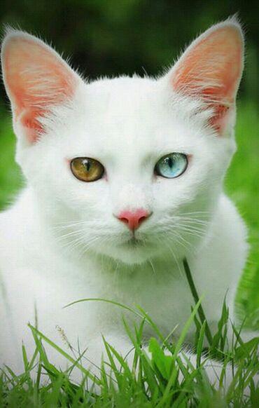 Коты - Беловодское: Ишю кошку породы као -мани девочку кто может дать даром? очень прошу