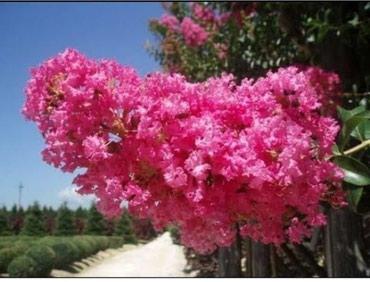 ИНДИЙСКАЯ СИРЕНЬ-саженцы!!! Цветет все лето в Бишкек