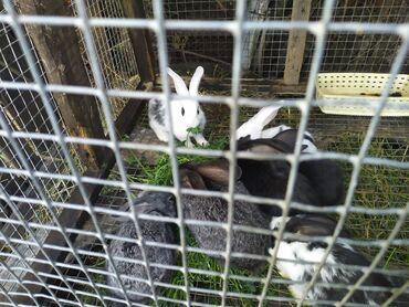 Kuca - Srbija: Продаю кролики цена договорная в районе верхний арча-бешик