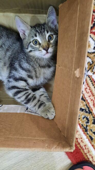 10338 elan | HEYVANLAR: Пристраивается домашний котик.Чистый,проглистованный.Родился 8