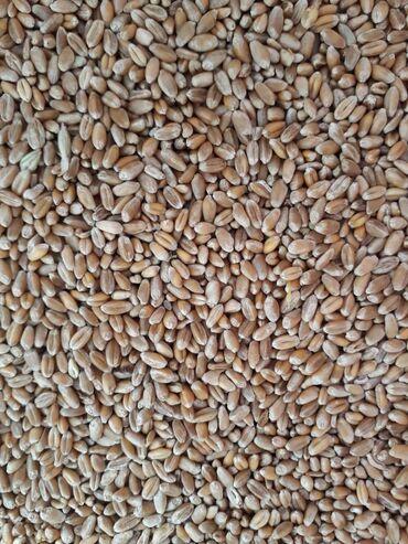 847 объявлений: Продаю семена озимой пшеницы  Куздук урондук буудай сатылат