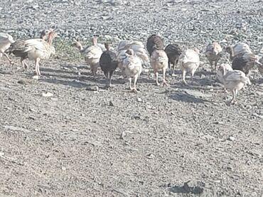 Продается Цыплёнок индейки индюшата индюк