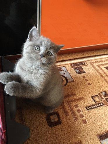 Продается шотландский котенок голубого окраса. Мальчик 2 месяца. С док в Бишкек