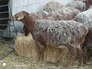 Продаю | Овца (самка) | Арашан | Для разведения | Матка
