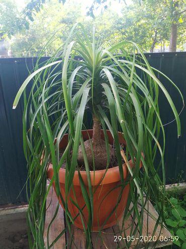 Продам растение Бокарнея, она же нолина. В народе называют слоновья