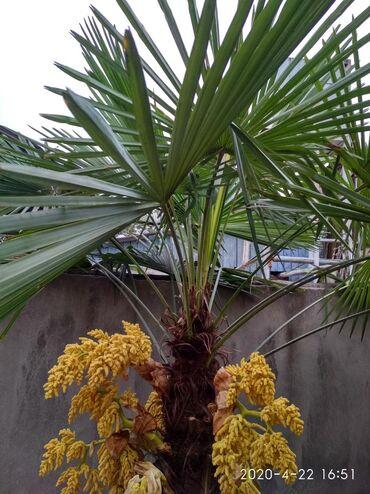 Otaq bitkiləri Gəncəda: 14-15 ilin ağacıdır. Ümumi uzunluğu 3 metrdən uzundur. Təzəlikcə sarı