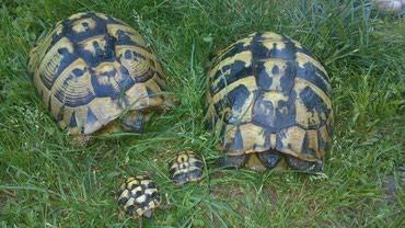 Ostali kućni ljubimci i životinje | Srbija: Sumske kornjace ljubimci
