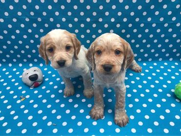 Cocker Spaniel puppies ready for sale We have both male and female