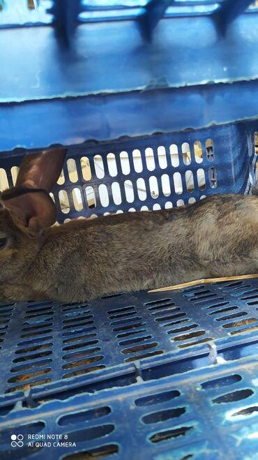 Кролик новая зеландец срочно! 400 сом. Продам с домам двух этажак с