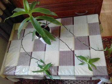 Другие комнатные растения - Кыргызстан: Продается золотой ус
