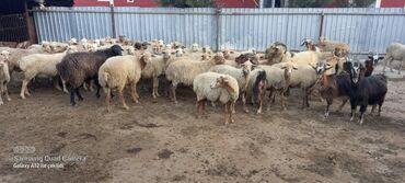 59 elan | HEYVANLAR: Salam heyvanların hamsı satılır 50 qoyun 12 keçi hamsı boğazdı və