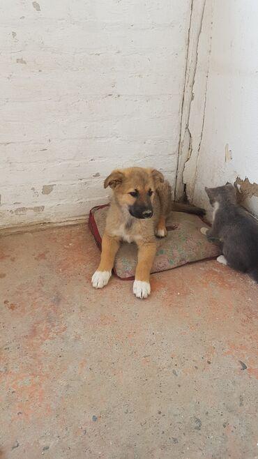Ит гүчүк,(ургаачы) щенок (сука), 2 месяца, здоровая, хорошая собака